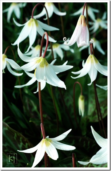 fawn-lily-1