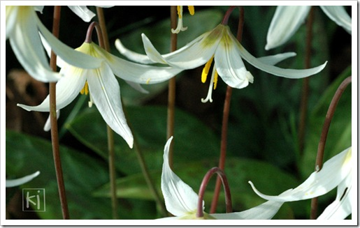 fawn-lily