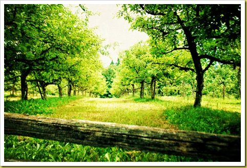 the-old-apple-orchard