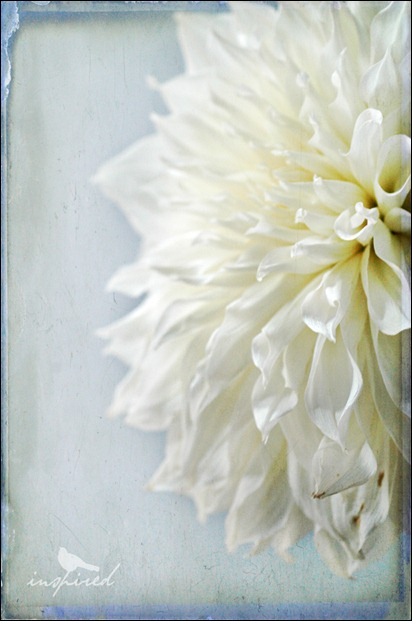 white-chrysanthemum