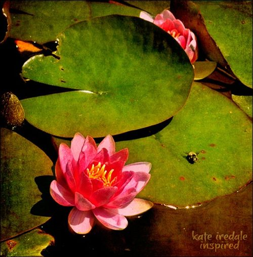 lotus-and-lily-pads