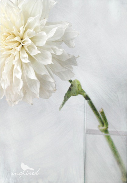 giant-white-chrysanthemum