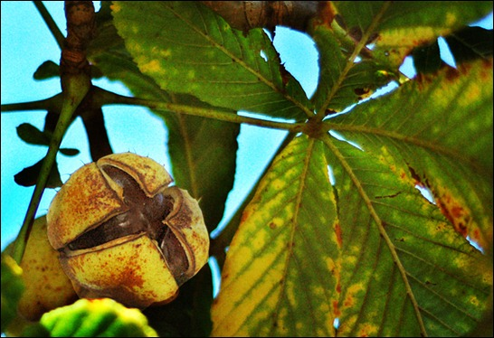 horse-chestnut-copy