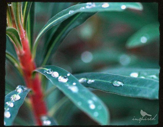 Raindrops-on-euphorbia