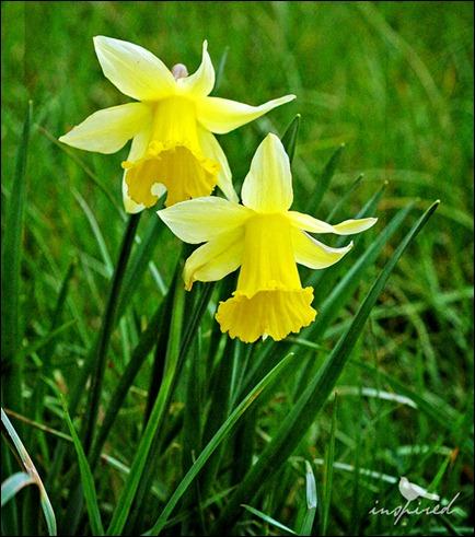 daffodils, inspired