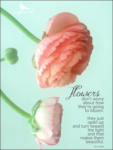 pink ranunculus, flowers